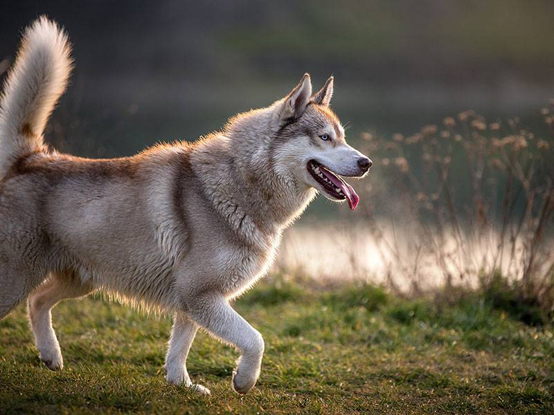 How to judge whether you are suitable to own a husky?