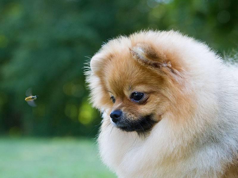 What To Do if Your Dog Encounters a Bee?